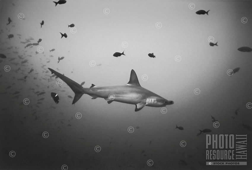 Hammerhead Shark with Reef Fish, Costa Rica