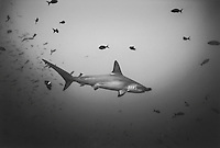 Hammerhead Shark with Reef Fish, Costa Rica