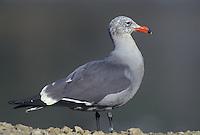 540042515 a heermans gull larus heermanni stands on a rocky shoreline beach in ventura county california