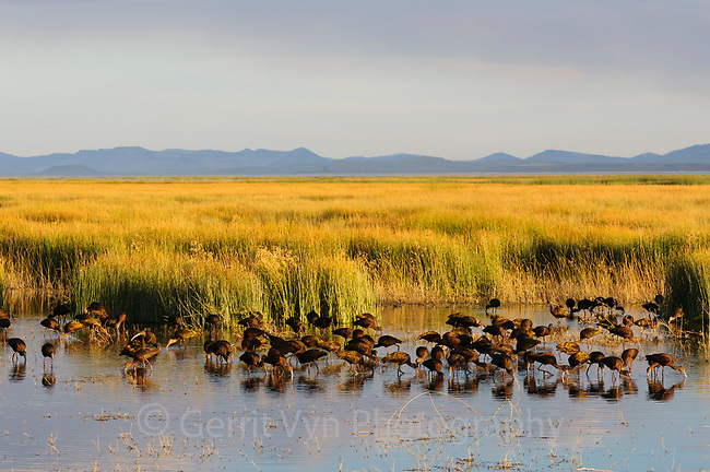 Foraging flock of White-faced Ibis (Plegadis chihi) during fall migration. Malheur County, Oregon. September.