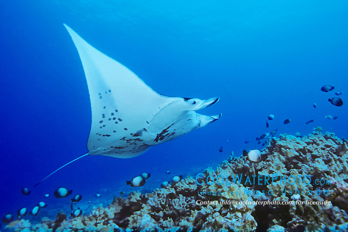 reef manta ray or coastal manta at cleaning station, Manta alfredi, Kona Coast, Big Island, Hawaii, USA, Pacific Ocean