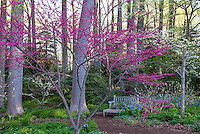 Redbud tree flowering by pathway to woodland garden with dogwoods in spring at Mount Cuba Center