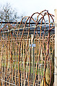 Summer-fruiting raspberry canes ('Malling Admiral') left unpruned overwinter, arched over and secured in tall loops, end January.