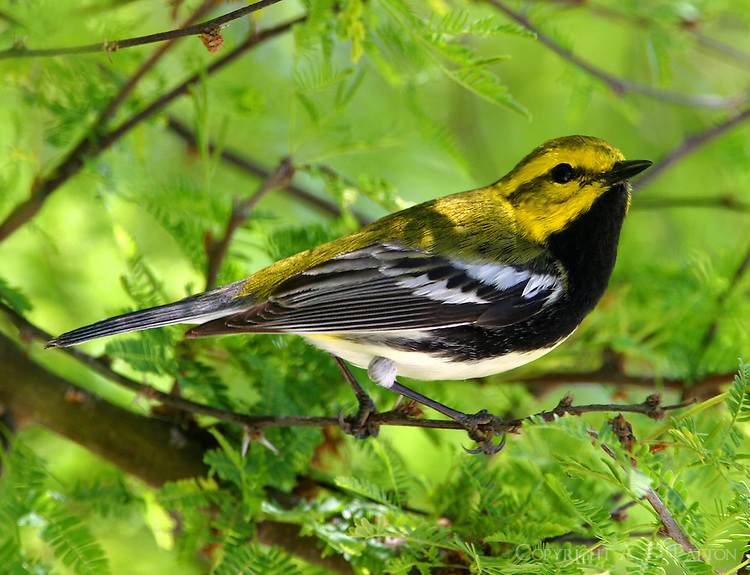 Adult male black-throated green warbler in huisache tree