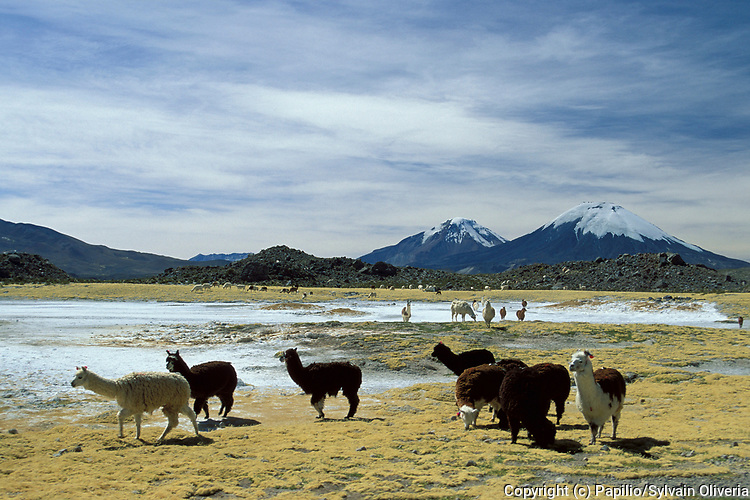 Llama, Llama glama, Parque Nacional Lauca Region, snow capped mountain