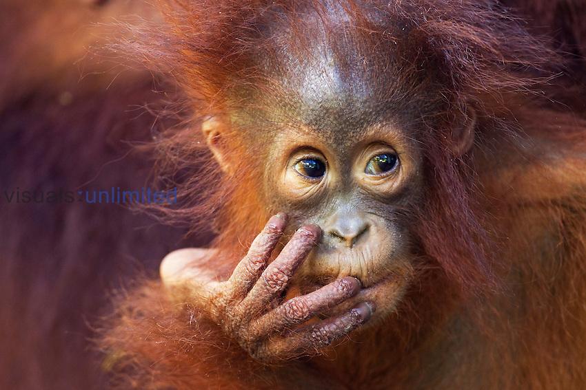 Bornean Orangutan female baby aged 12 months (Pongo pygmaeus wurmbii), Camp Leakey, Tanjung Puting National Park, Central Kalimantan, Borneo, Indonesia.