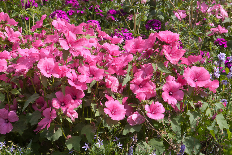 Lavatera trimestris Twins Hotpink annual tree mallow