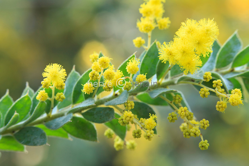 mimosa, Acacia vestita // Weeping Boree', Weeping Acacia, or Hairy Wattle, Acacia vestita.