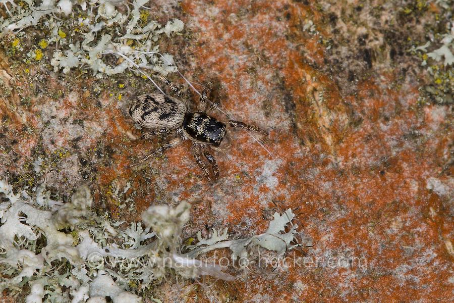 Springspinne, Salticus cingulatus, Salticus cordicalis, Salticus lineolatus, jumping spider, Jumping Zebra Spider, Springspinnen, Salticidae, jumping spiders