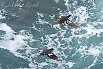 Pigeon Guillemot (Cepphus columba), two flying over surf, Montana De Oro State Park, California, USA