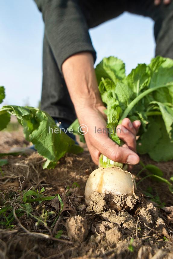 Récolte de navet (Brassica rapa) // Harvest of turnip (Brassica rapa)