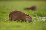 Capybara (Hydrochoerus hydrochaeris) pup grazing, Ibera Provincial Reserve, Ibera Wetlands, Argentina