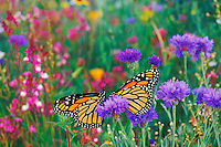 Two monarch butterflies rest for a moment in a garden of flowers.  (Danaus Plexippus)