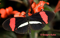 LE 45-541z  Small Postman Butterfly, Heliconius erato, South and Central America