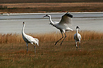 Group of whooping cranes standing in a field in Saskatchewan, Canada