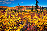 Bright fall colored tundra under blue sky, Eureka, Southcentral Alaska, Autumn.