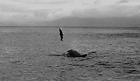 1987- When Fungi arrived in Dingle, fishermen were up in arms because he was killing lots of salmon.   Our picture shows a playful young doldphin after catching a 10lb salmon and then playfully  tossing it in the air before devouring him.<br /> Picture by Don MacMonagle