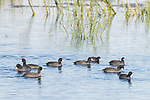 Damon, Texas; a flock of American Coots swimming on the surface of the slough in late afternoon sunlight