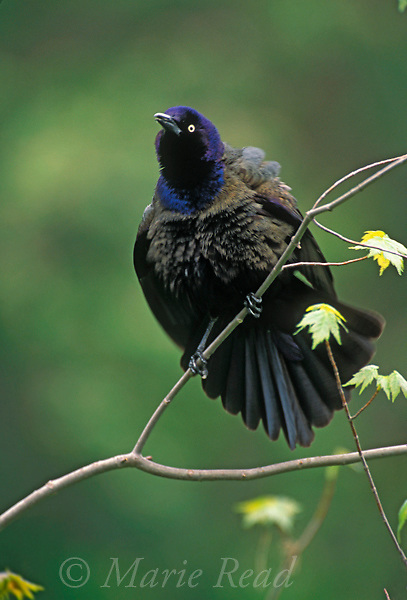 Common Grackle (Quiscalus quiscula) male performing courtship display, New York, USA<br />