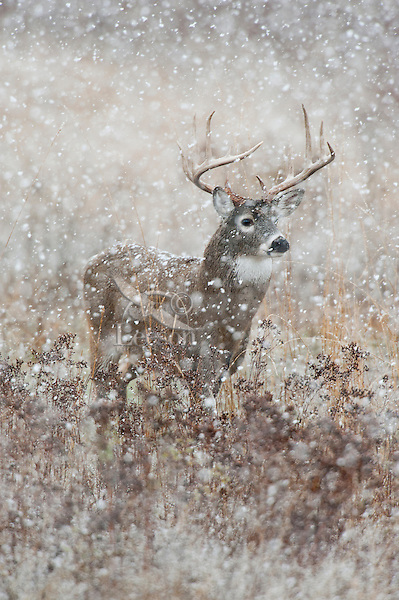 White-tailed Deer Buck (Odocoileus virginianus) on a cold, wet, snowy November day.