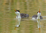 Western Grebes (Aechmophorus occidentalis) pair with bills raised while drinking, Bear River Migratory Bird Refuge, Utah, USA