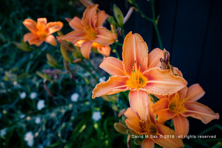 6.24.17 - Peachy on The Fence...