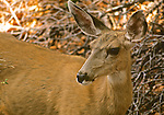 Female Mule Deer, Beaver Meadows, Estes Park, Colorado