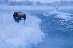 American Bison (Bison bison) female along river in winter, Gardner River, Yellowstone National Park, Montana