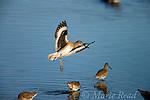 Willet (Catoptrophorus semipalmatus), non-breeding plumage, landing, Bolsa Chica Ecological Reserve, California, USA