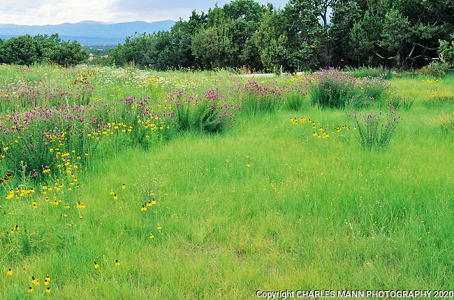 Blue Gramma, Bouteloua gracilis, and  a mix of wildflowers create an attractive and drought tolerant lawn alternative at the Santa Fe home.