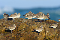 Flock of Black-bellied Plover (Pluvialis squatarola) in basic (winter) plumage roosting on coastal rocks. Monterey County, California. December.
