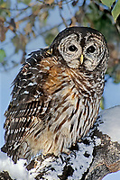 563960001 a captive wildlife rescue barred owl strix varis perches in the snow covered notch of a deciduous tree in central colorado united states