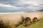 Eastern Grey Kangaroo (Macropus giganteus) mother and joey grazing at the coast, Pebbly Beach, Murramarang National Park, New South Wales, Australia