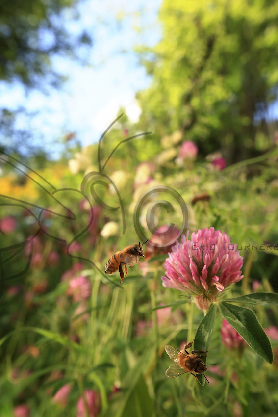 A bee gathering nectar from a thyme flower.///Butinage d'une abeille sur des fleurs de thym.