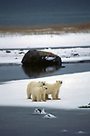 Three polar bears on the shore at the ice line.