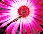 Melanostoma scalare hoverfly