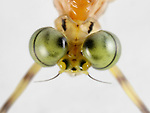 Mayfly (Ephemeroptera) showing the eye structure.