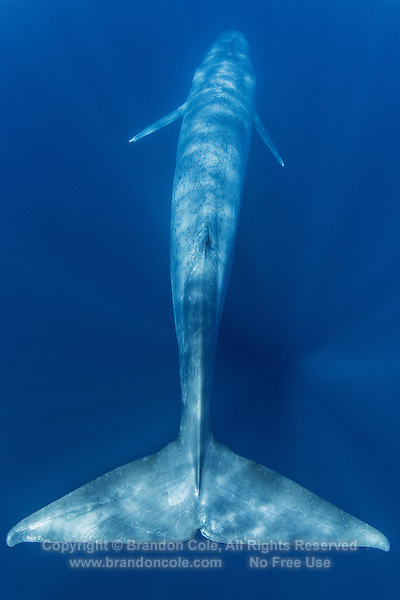 TC0176-D. Blue Whale (Balaenoptera musculus) view from behind 20 foot wide tail flukes. This baleen whale species now an endangered species because of intensive hunting by whalers. Calves born about 23 feet long, grow quickly drinking 100 gallons of milk per day. Adults 80 to 100 feet long, females slightly larger than males. Feeding dives usually last 5-20 minutes, usually breathes at surface for 2-6 minutes between dives. Bushy spout can be 30 feet tall. Pacific Ocean.<br /> Photo Copyright &copy; Brandon Cole. All rights reserved worldwide.  www.brandoncole.com