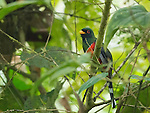 Male Masked Trogon, Trogon personatus, perched on a branch at Amagusa Reserve, Ecuador