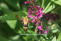 04005-00318 Snowberry Clearwing (Hemaris diffinis)  on Butterfly Bush (Buddleia davidii) Marion Co.  IL