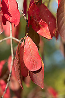 Pfaffenhütchen, Europäisches Pfaffenhütchen, Gewöhnlicher Spindelstrauch, Pfaffenkäppchen, Euonymus europaeus, common spindle, spindle, European spindle, Le Fusain, Fusain d'Europe, Blatt, Blätter, leaf, leaves, Herbstlaub, Herbstfärbung, Herbstverfärbung, Herbstfarben, autumn foliage, fall foliage, autumn colors, autumn colours