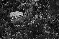 Leopard (Panthera pardus) in a large sausage tree.