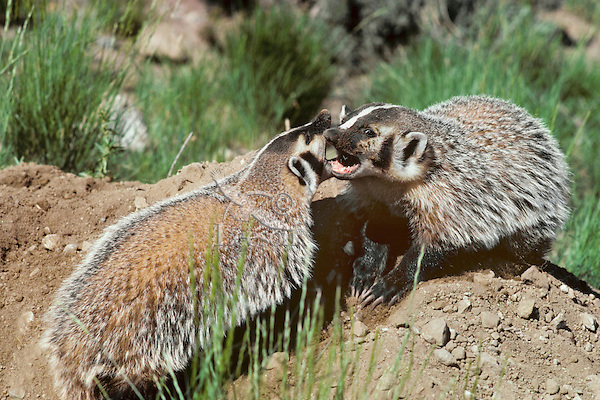 2/3s grown  Badger (Taxidea taxus) cubs playing near den, Western N. America