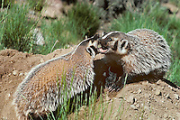 2/3s grown  Badger (Taxidea taxus) cubs playing near den, Western N. America