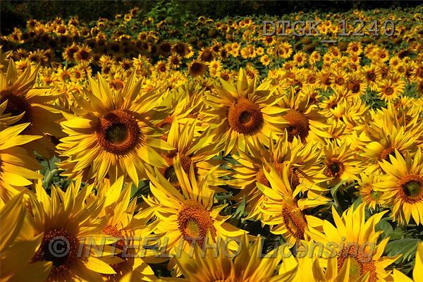 Gisela, FLOWERS, photos(DTGK1240,#F#) Blumen, flores, retrato