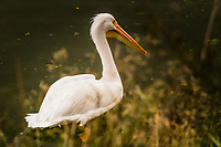 An American white pelican swims close to shore at Lake Chabot Regional Park, an oasis in the hills above San Francisco Bay.