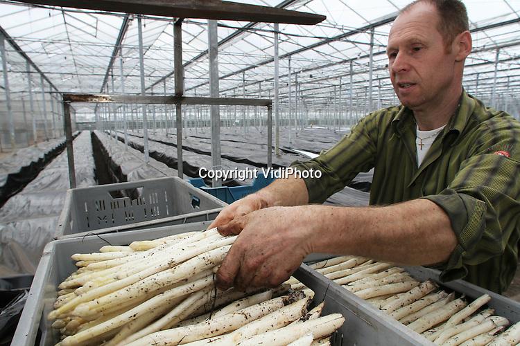 Foto: VidiPhoto..CROMVOIRT - Bij aspergeteler Erik Verhoeven uit het Brabantse Cromvoirt is maandag het aspergeseizoen volop begonnen. Op dit moment wordt het witte goud uit de verwarmde kassen van de teler geoogst en verkocht aan huis of geleverd aan een 80-tal restaurants in de provincie. Voorlopig gaat slechts een klein deel van de asperges naar de veiling in Zaltbommel. Verhoeven levert de asperges op maat en geschild. Omdat de vraag groot is en het aanbod op dit moment nog beperkt, worden er flinke prijzen betaald voor een kilo asperges..