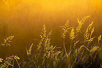Field grasses are back lit by the morning sun, highlighting the morning dew and a few spider webs.