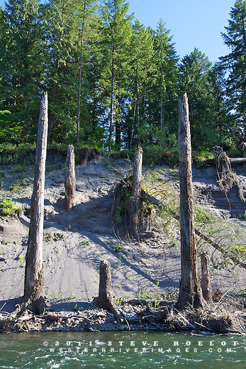 A ghost forest on a steep sandy river bank.