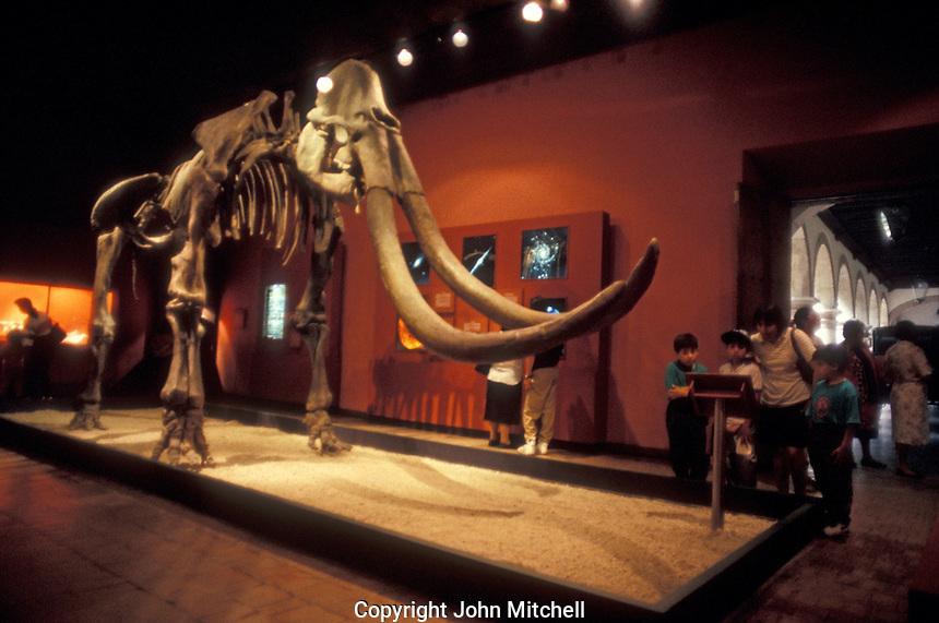 Wooly mammoth skeleton in the Museo Regional de Guadalajara, Mexico